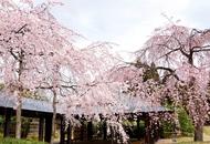 朱雀の庭・桜①-thumb-190xauto-2914